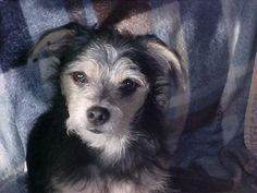 Meet Roman, a Petfinder adoptable Yorkshire Terrier Yorkie Dog | Fulton, NY | Adopted