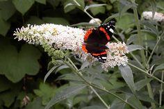 vlinder op bloem van de vlinderstruik
