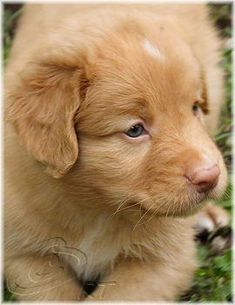 And with this, the Nova Scotia Duck Tolling Retriever has jumped in the list, even for me