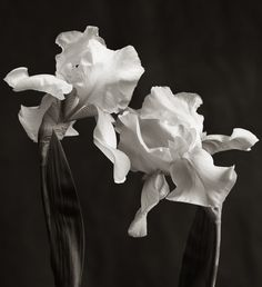 Buy Iris Duo, Black and white photograph (giclée) by Richard Freestone on Artfinder. Discover thousands of other original paintings, prints, sculptures and photography from independent artists. Black And White Artwork, Black White Photos, Black And White Photography, Photography For Sale, Floral Photography, White Iris, Still Life Flowers, Still Life Art, International Artist