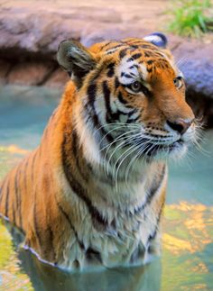 """500px / Photo """"Tiger """" by Nate A 
