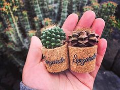 "3,387 Likes, 17 Comments - کاکتوس🌸ساکولنتcactus🌵succulent (@amin_hajimohamadi) on Instagram: ""📷 : @sappholiu #🌵 #cactus #succulent #succulents #cacti #cacto #kaktus #кактус #サボテン #仙人掌 #선인장…"""