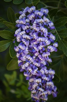~~Texas Mountain Laurel by Saija Lehtonen~~ .these are in bloom now, and the scent is amazing! They smell like grape bubblegum. Purple Flowers, Weird Plants, Planting Flowers, Mountain Laurel, Unusual Flowers, Amazing Flowers, Beautiful Flowers, Love Flowers, Trees To Plant