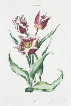 Georg Dionysius Ehret, Der das ganze Jahr hindurch im schönsten Flor stehende Blumengarten, oder Abbildungen der lieblichsten Blumen, 1768-86. Germany.
