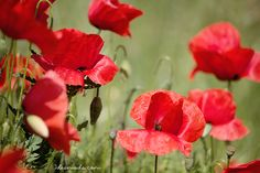 Beautiful poppies!