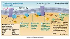 Cyclic AMP second-messenger mechanism of water-soluble hormones (proteins). Receptors are in the plasma membrane.