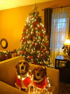 Christmas Beagles 2012 #beagle