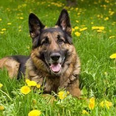 german shepherd puppies louisiana   Zoe Fans Blog