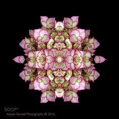 Hydrangea Symmetry - Hydrangea Symmetry