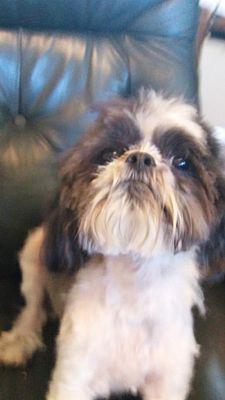 Davie Fl Shih Tzu Meet Benjamim Moe A Dog For Adoption Kitten Adoption Dog Adoption Pets