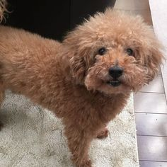 What's up?🤗#dog #dogstagram#poodles#poodle_corner#toypoodle#cute#smile#poodleloversfc#poodlelove#instapoodle#dogsloversclub#petstagram#pet  #fluffy #lovely #lovelydog  #cutedog  #poodle  #poodlelove #poodle.in.life #トイプードル#愛犬#癒し#フワフワ#モコモコ #かわいいわんこ
