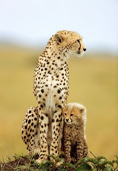 Mother And Cub Cheetah Sitting On Dirt Mound Kenya by Robert Winslow
