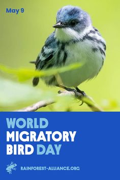 It's Take flight with the cerulean warbler on its epic spring migration, and discover how the Rainforest Alliance is helping to conserve habitat along its migration route. Click the image to learn more! Photo by Sean Graesser. Migratory Birds, Sustainable Forestry, Cerulean, Wild Things, What You Can Do, Beautiful Birds, Climate Change, Conservation, Photo Credit