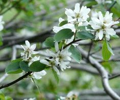 Amelanchier - This Utah service berry actually was in the Sierras but native throughout most of California mountains. -