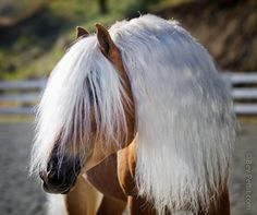 Haflinger Stallion by Bev Pettit
