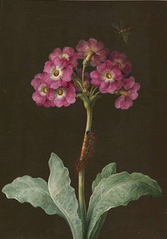 """""""Primula with caterpillar on its stalk and dragonfly,"""" a painting by naturalist and scientific illustrator Maria Sibylla Merian, 17th - 18th centuries"""