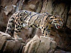 Foto: Leopardo-nebuloso