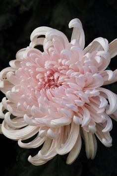 Japanese Chrysanthemum/