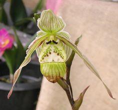 Orchid Identification Photos: Phragmipedium Orchid