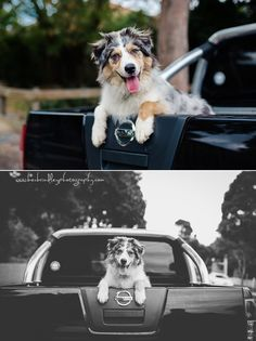 Aussie Shepherd Aussie Shepherd, Dog Photography, Little Star, Dads, Animals, Parents, Animales, Australian Shepherds, Animaux