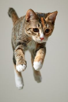 Tabby Cat mid air ☆