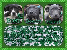 Bowen, Bayleigh and Brett...The B Puppies! Available for adoption from www.luckydoganimalrescue.org  They are 13 week old lab mixes and so sweet and calm!