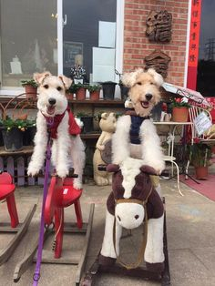 Giddyup.......Wire fox terriers horsing around!