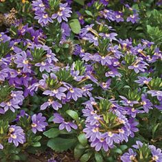 annual: 'Cajun Blue' Scaevola. fanflower. heat tolerant 10 in tall and wide with trailing habit. blooms mid-sping-late summer