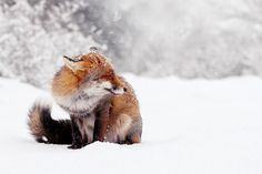Red Fox in the Snow by Roeselien Raimond on 500px