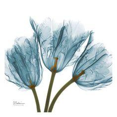 Tulips in Blue Art Print by Albert Koetsier- X-ray photography! Blue Framed Art, Blue Art, Framed Wall Art, Framed Art Prints, Purple Art, Transparent Flowers, Deco Nature, Blue Poster, Kunst Poster