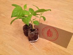 Trinidad Moruga Scorpion Chilli Plants