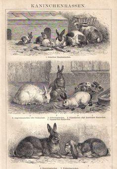 1894 Rabbit Breeds Angora Silver Rabbit by CabinetOfTreasures, $9.95