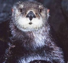 Aquarium of the Pacific | Online Learning Center | Southern Sea Otter