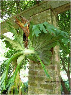 Staghorn fern at New Orleans Botanic Garden