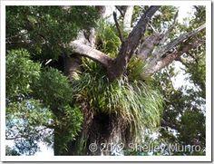 Kauri tree, Waitakere, Auckland, NZ Kauri Tree, Auckland New Zealand, Romance Authors, Paranormal Romance, South Pacific, Scenery, Trees, Country, World