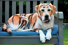 Image: Labrador pup Lilo was transformed into a tiger, using animal-safe dye, by owner Matt Curran in celebration of his niece's 4th birthda...