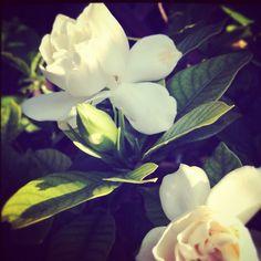 Gardenia.  my most favorite flower because it smells amazing.