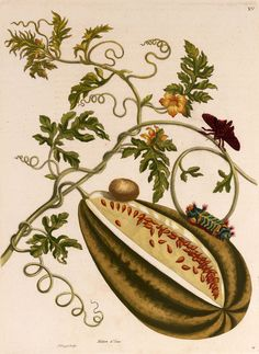 Maria Sibylla Merian - Melon illustration
