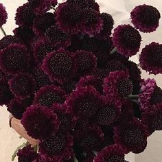 standard list - this copy is not in a tabbed format Stem Count: 10 stems Color: Dark Burgundy Season: All Year Flower Design Type: Luxury Accent Flower, but highly textured Special Care Note: Scabiosa stems typically come with a plastic 'straw' to keep the head from curving. Leave this on. If without straw, place in a tall, supportive vase to avoid strong curves tab titles Pros/Cons Flower Care Quantity Help Substitutes The Good: So sweet, it's like a crochet doily on a stem! They do not have to Red Bouquet Wedding, Lilac Wedding, Fall Wedding Flowers, Wedding Flower Arrangements, Wedding Colors, Halloween Wedding Flowers, Summer Wedding, Dark Red Wedding, Halloween Weddings