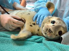 The Marine Mammal Center : Behind the Scenes: Caring for Pacific Harbor Seals