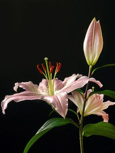 stargazer lily | Stargazer lily - Stephenmchale's Gallery - Gallery - Lumix G ... Day Lilies, Water Lilies, Black Flowers, Colorful Flowers, Amazing Flowers, Beautiful Flowers, Watercolor Flowers Tutorial, Mint Plants, Asiatic Lilies