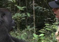 Gorilla Finds And Encounters The Man After 5 Years #Pets #Animals