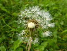 Dandelion, Track, Plants, Flowers, Runway, Trucks, Flora, Running, Track And Field