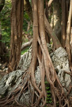 ˚Strangler fig on karst rock - Okinawa, Japan Nature Plants, Nature Tree, Magical Tree, Beautiful Places To Live, Plant Wallpaper, Tree Images, Unique Trees, Old Trees, Tree Roots
