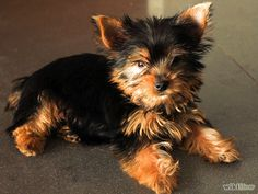 Imagen titulada Choose a Yorkie Puppy Step 3