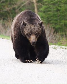 You're coming to Banff and you're keen to spot a bear in the wild. Well, it's time to get prepared. Here are some of the golden rules about bears in Banff. Nature Animals, Animals And Pets, Baby Animals, Funny Animals, Cute Animals, Baby Pandas, Baby Bears, Cute Bears, Wild Animals