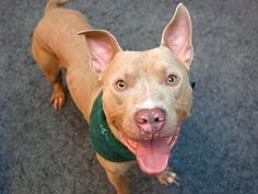 TO BE DESTROYED 8/12/14  Manhattan Center    My name is RANDY. My Animal ID # is A1009601.  I am a male cream and white pit bull mix. The shelter thinks I am about 1 YEAR 8 MONTHS old.   I came in the shelter as a STRAY on 08/07/2014 from NY 11223, owner surrender reason stated was STRAY