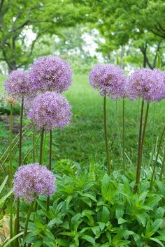Allium: garlic decor that nearly didn't need water Colorful Plants, Cool Plants, Garden Trees, Balcony Garden, Garden Soil, Garden Plants, Edging Plants, Outdoor Plants, Outdoor Gardens
