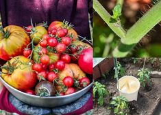 7 Hacks Used By Prize Winning Gardeners To Double Their Tomato Harvest Backyard Vegetable Gardens, Home Garden Plants, Veg Garden, Tomato Garden, Edible Garden, Lawn And Garden, Garden Art, Indoor Garden, Indoor Plants