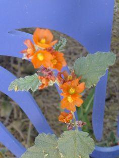 Globemallow-Desert Botanical Garden